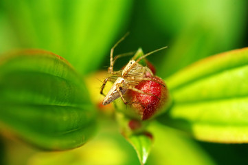 lynx spider with floret