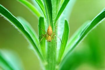 lynx spider on plant