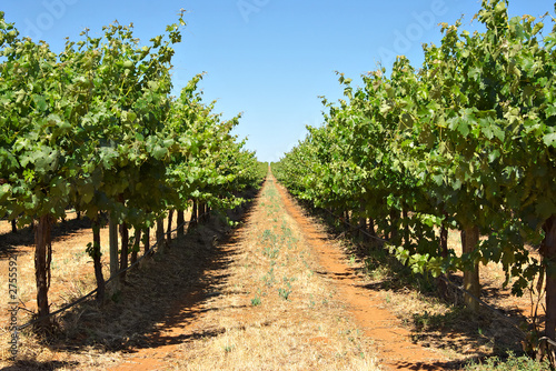 grape vines in a row