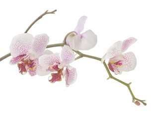 a twig of orchid with flowers