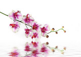 single stem of orchid flower on water poster
