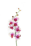 single stem of orchid flower poster