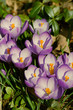 crocuses closeup