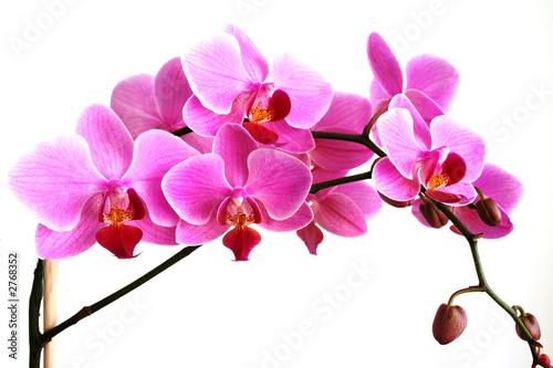 galazka-rozowej-orchidei
