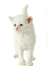 white kitten with blue eyes.