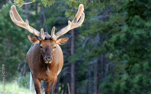 huge rocky mountain elk