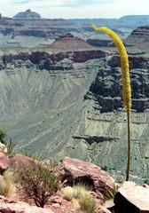 canyon agave