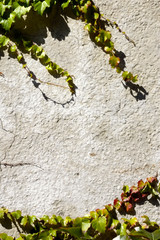 vintage wall background with vines