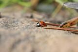 ladybug/ladybird poster