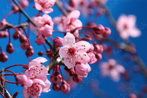 Fotobehang Kersen cherry blossom