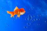 fun goldfish on a bubbly blue background