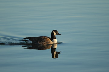 candaian goose swimming