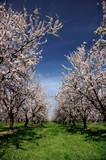 almond orchard in bloom poster
