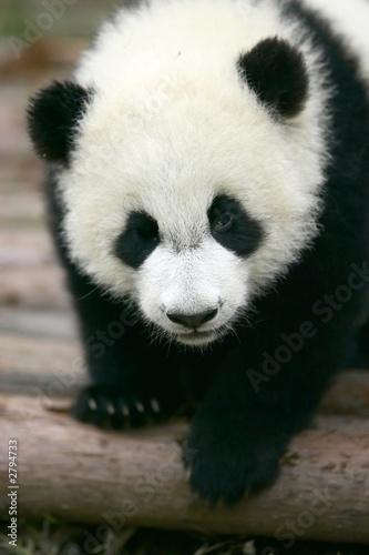 Foto op Aluminium Panda panda young