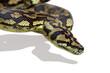 python schlange