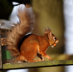 red, squirrel,