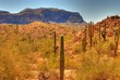 desert saguaro 48