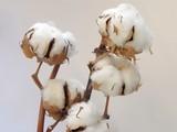cottons bush twigs poster