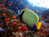 emperor angelfish-