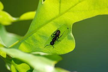carpenter ant shepherd