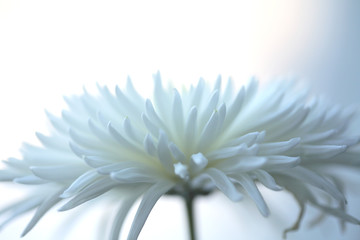light-blue chrysanthemum