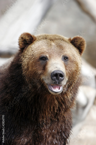 grizzly bear smiling