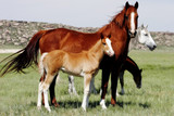 mares & baby horses poster