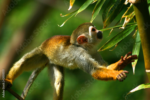 Poster jumping squirrel monkey