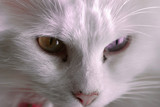 cat close up mad poster