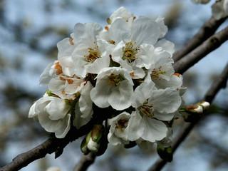 fiori di ciliegio e cielo