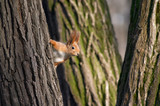 squirrel look out from tree stem poster