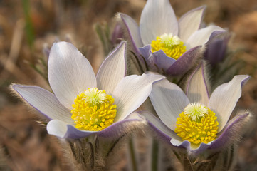 pasque flowers blooming