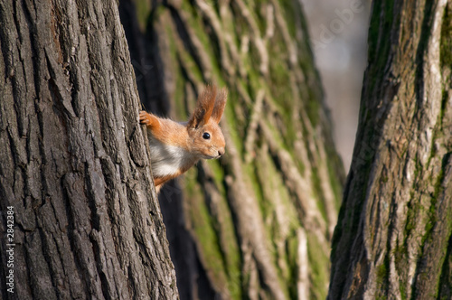 In de dag Eekhoorn squirrel look out from tree stem