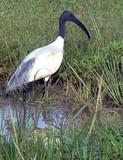 black ibis poster