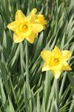 trumpet daffodil poster