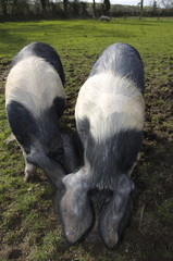 two british saddleback pigs in field