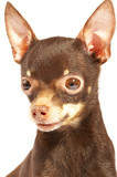 russian toy-terrier. poster