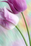 dreamy tulips poster