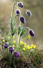 bunch of pulsatilla