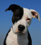chiot pit bull poster