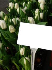 white spring tulips
