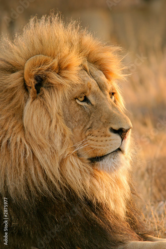 Leinwanddruck Bild big male lion