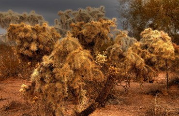 desert cholla 2