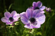 purple anemone spring flowers
