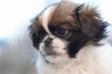 fragile pekingese puppy poster