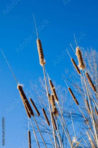 cattails of winter
