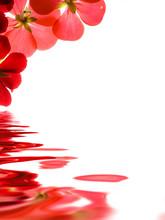 Czerwone kwiaty odzwierciedlenie na białym tle
