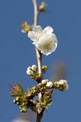 cerisier09