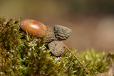 acorn in moss - spring/fall detail from park poster