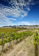 summer vineyard 2